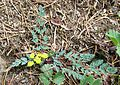 Lomatium martindalei (coast range lomatium) - Flickr - brewbooks (1).jpg
