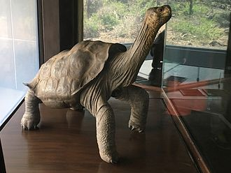 Lonesome George - Stuffed Lonesome George on display at the Charles Darwin Research Station.
