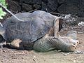 Lonesome George - Pinta Island Tortoise (4806833908).jpg