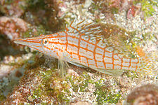 Long-nose Hawkfish.jpg