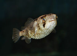 Long-spine porcupinefish (Diodon holocanthus).jpg