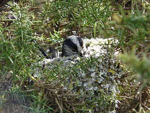Long-tailed tit - A long-tailed tit in its nest.