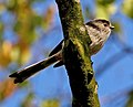 Long tailed Tit (6243011695).jpg