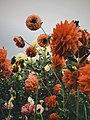 Longwood Gardens Sunrise Waterlily Dahlia Pennsylvania picture.jpg