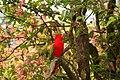 Lorius garrulus -perching in tree-8.jpg