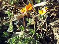Lotus glareosus FlowersCloseup2 SierraNevada.jpg