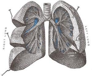 Vista frontal de ambos pulmones abiertos en un plano de disección para visualizar las cisuras, los lóbulos y las vías respiratorias: tráquea y árbol bronquial.