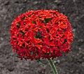 Lychnis chalcedonica flowers (DSCF6457).jpg