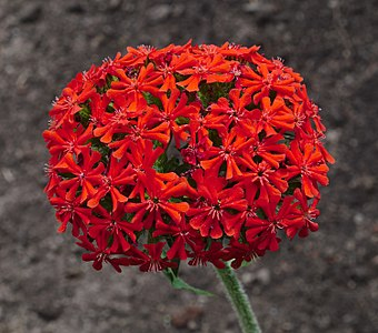 Lychnis chalcedonica flowers