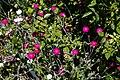 Lychnis coronaria Silene coronaria at Nuthurst, West Sussex, England 3.jpg