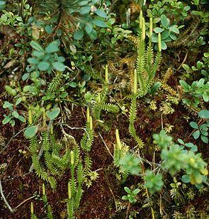 Schlangen-Bärlapp (Lycopodium annotinum)