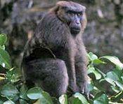 Mâle macaque maure (Macaca maura).jpg
