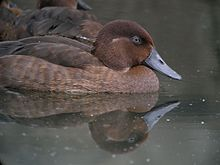 Madagascar Pochard, Captive Breeding Program, Madagascar 4.jpg
