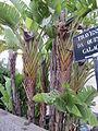 Madeira em Abril de 2011 IMG 1387 (5661161029) (2).jpg
