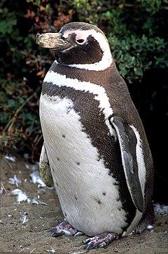 Migliorarla secondo le convenzioni di wikipedia pinguino di magellano