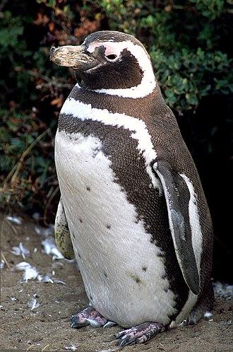 Supraorbital gland - Magellanic penguin
