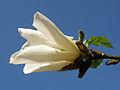 Magnolia - kwiat (1).JPG