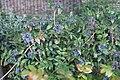 Mahonia japonica у Лондане 2.jpg