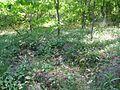 Maianthemum bifolium 6004.jpg