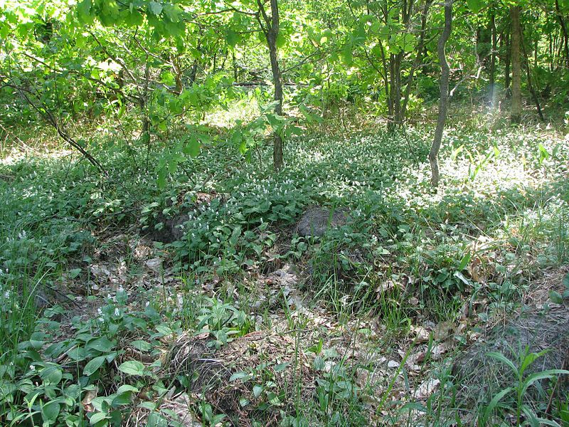 File:Maianthemum bifolium 6004.jpg