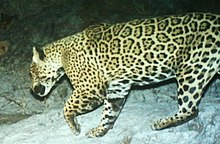large spotted cat running right to left