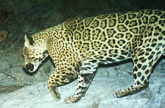Environmental policy of the Donald Trump administration - Male jaguar from the Santa Rita Mountains, Arizona, in 2015