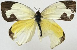 Male Mexican Yellow, Megan McCarty86.jpg