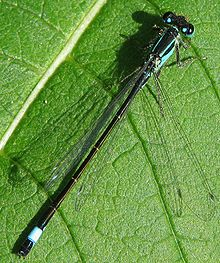 Male of Ischnura elegans I.jpg
