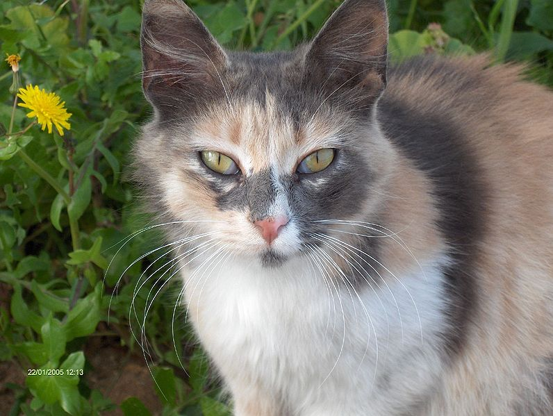 Cat With Green And Blue Eye Calico