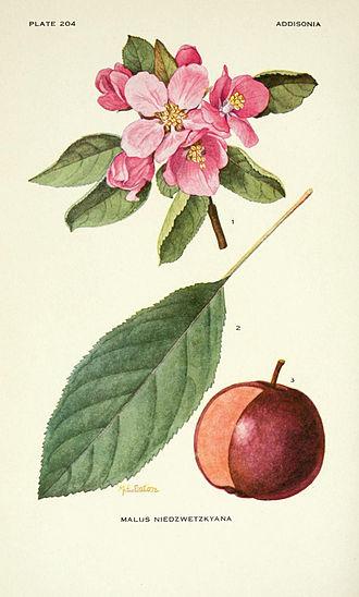 Malus niedzwetzkyana - Illustration of Malus niedzwetzkyana from a 1921 botanical compendium