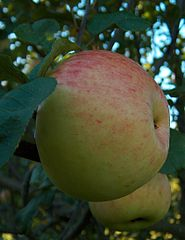 Malus Beauty-of-Wiltshire.jpg