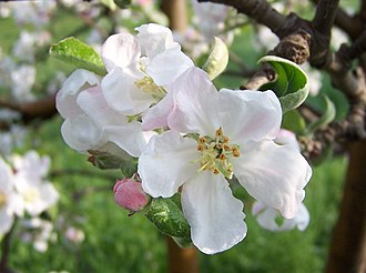 Apple - Flowers
