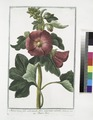 Malva Rosea, folio subrotundo flore saturatius rubente - Mauve Rose (NYPL b14444147-1124973).tiff
