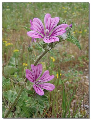Malva sylvestris - Flowers on Stem