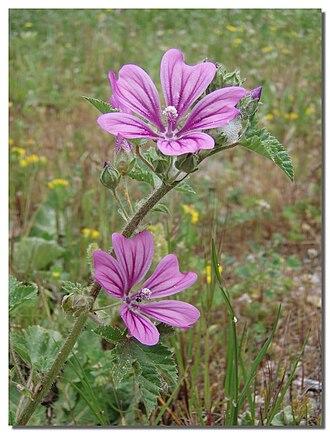 Malva sylvestris - Flowers on Stem