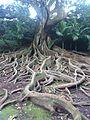 Mammutbaum (12460966763).jpg