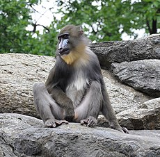 Mandrill Berlin Zoo.jpg