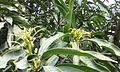 Mango-Flowering2.jpg