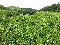 Mangrove of Gesashi Bay.jpg