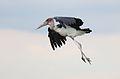 Marabou Stork, Leptoptilos crumeniferus, at the aptly named Marabou Pan, Savuti, Chobe National Park, Botswana (32633699532).jpg