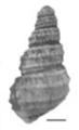 Margarya tchangsii shell 2.png