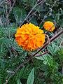 Marigold1113.jpg