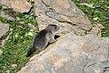 Marmota marmota Tauerntal 20160807 C01.jpg