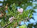 Matarratón (Gliricidia sepium) - Flor - Flickr - Alejandro Bayer (1).jpg