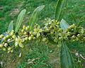 Maytenus boaria, Celastraceae (8645995944).jpg