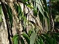 Melaleuca leucadendron (2207126218).jpg
