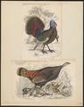 Meleagris americana - 1700-1880 - Print - Iconographia Zoologica - Special Collections University of Amsterdam - UBA01 IZ16900298.tif