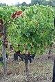 Merlot grapes at Château Le Bon Pasteur, Pomerol.jpg