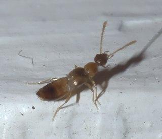 <i>Meronera venustula</i> Species of beetle