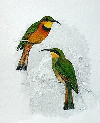 Little bee-eater - Image: Merops pusillus 00a